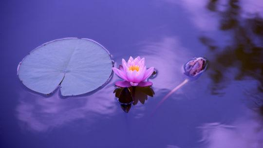 Nature_lotus_purple_