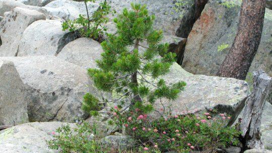 pine tree growing in rock